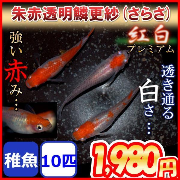 更紗/紅白めだか稚魚10匹更紗メダカ