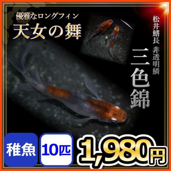メダカ/松井ヒレ長三色錦メダカ稚魚10匹/松井鰭長非透明鱗三色メダカ