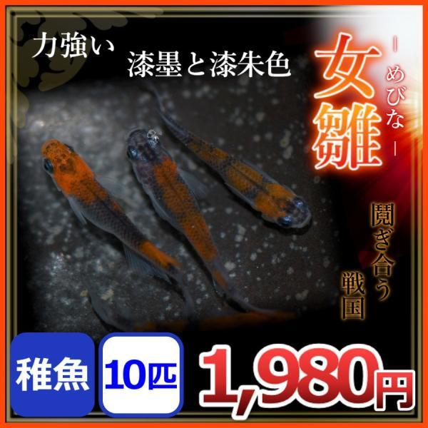 メダカ/ 女雛メダカ 稚魚10匹 /めびなメダカ メビナメダカ