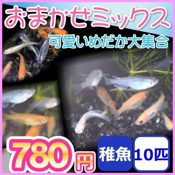 おまかせミックスめだか稚魚10匹セット/メダカ