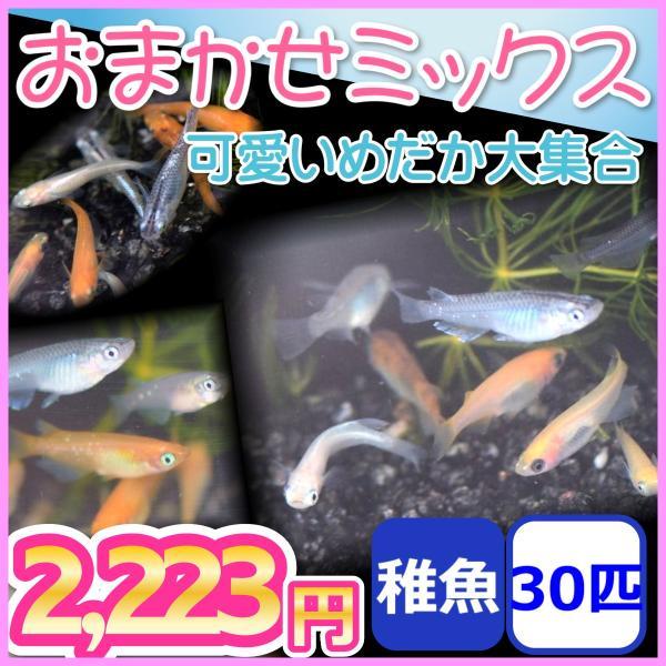おまかせミックスめだか稚魚30匹セット/メダカ