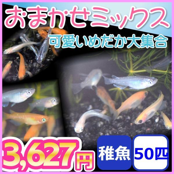おまかせミックスめだか稚魚50匹セット/メダカ