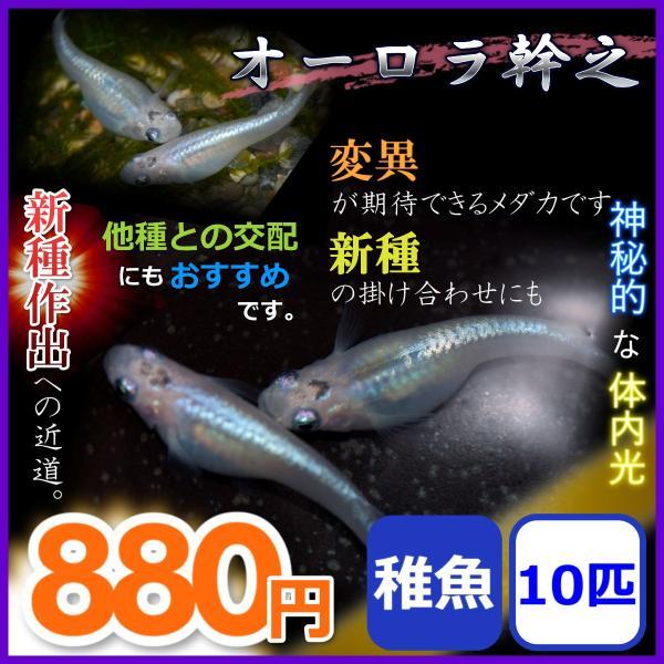 メダカ/オーロラ幹之めだか稚魚10匹