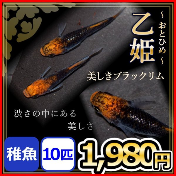 メダカ/乙姫めだか稚魚10匹/おとひめメダカブラックリムメダカ