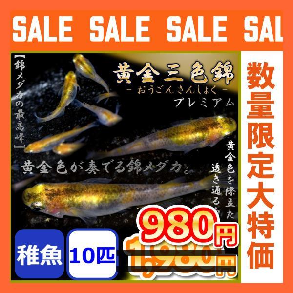 メダカ/黄金三色錦めだか稚魚10匹