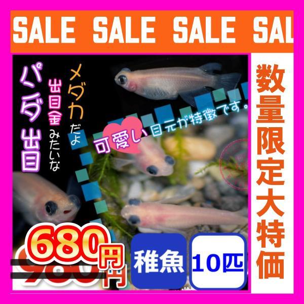 メダカ/パンダ出目めだか稚魚10匹