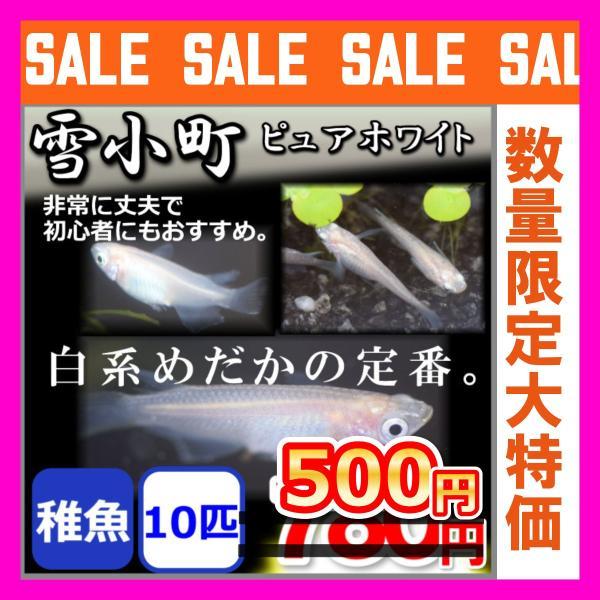 メダカ/雪小町ピュアホワイトめだか稚魚10匹