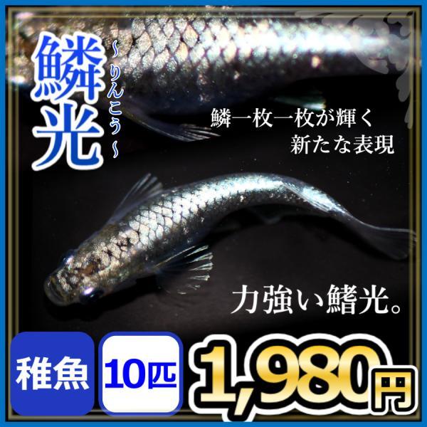 メダカ/鱗光めだか稚魚10匹/鱗光メダカ