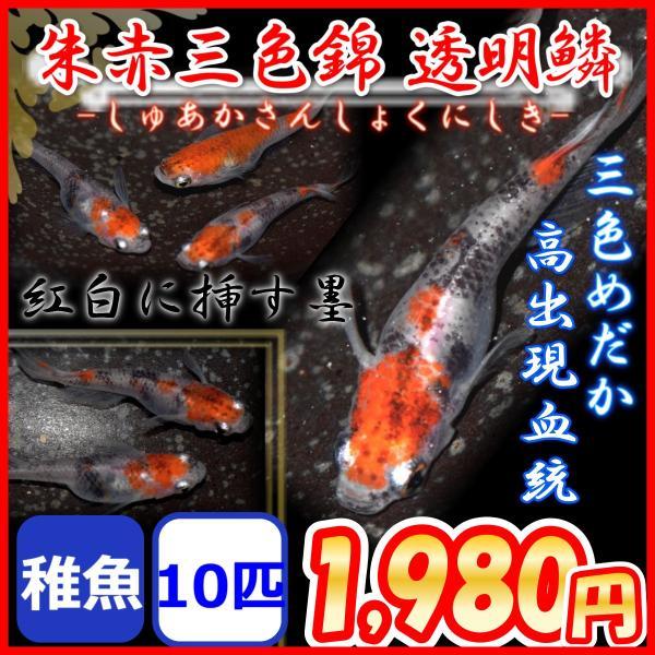  朱赤三色錦透明鱗メダカ 稚魚10匹/三色めだか