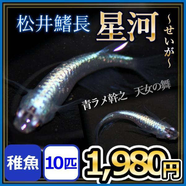 メダカ/松井ヒレ長星河めだか稚魚10匹/天女の舞星河メダカ