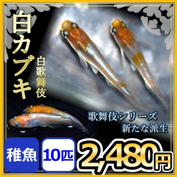 メダカ/白カブキめだか稚魚10匹/白歌舞伎メダカ