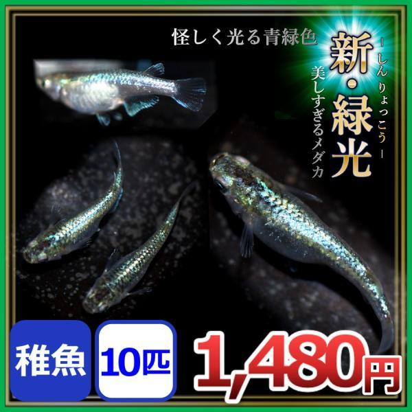 メダカ/新緑光メダカ稚魚10匹/新緑光めだか