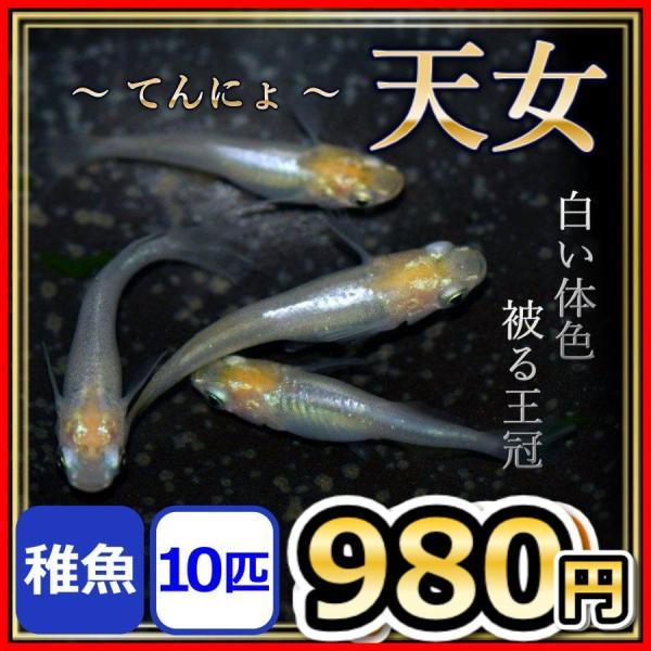 天女メダカ/天女めだか稚魚10匹/