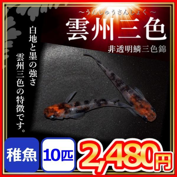 メダカ/ 雲州三色めだか  稚魚10匹 /非透明鱗三色錦メダカ