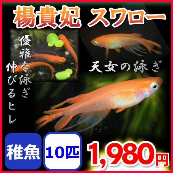 メダカ/楊貴妃スワローめだか稚魚10匹ヒレ長