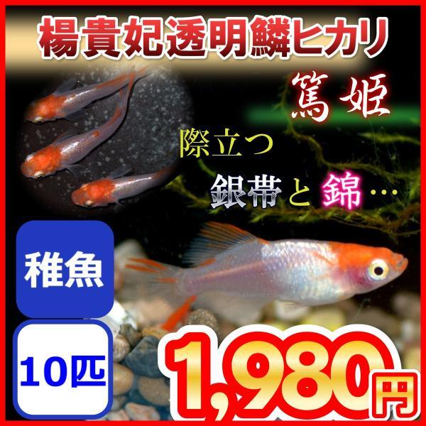 篤姫楊貴妃透明鱗ヒカリメダカ稚魚10匹めだか