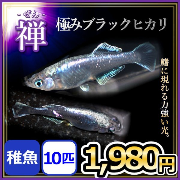 メダカ/極みブラックヒカリ禅稚魚10匹/黒幹之メダカ黒みゆきヒカリめだか