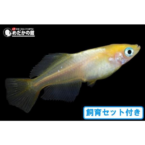 メダカ飼育初心者ヒカリメダカ10匹セット