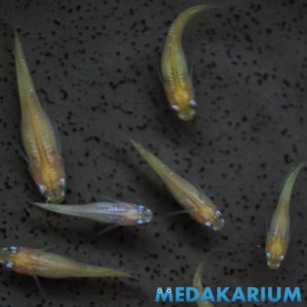 めだか 黄色 体内光メダカ (M〜Lサイズ) 1ペア|medakarium