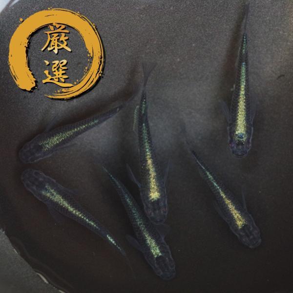 極ブラック メダカ めだか (M〜Lサイズ) 3ペア medakarium