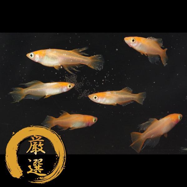 東天光スワロー メダカ めだか (M〜Lサイズ) 3ペア|medakarium