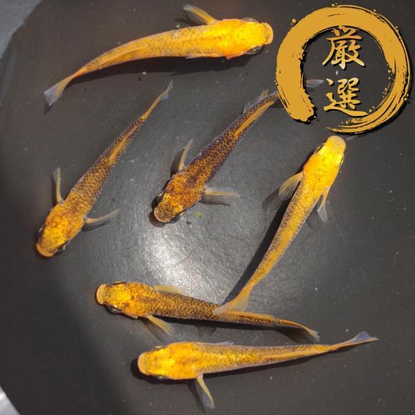 紅薊 光体型 メダカ めだか (M〜Lサイズ) 3ペア|medakarium