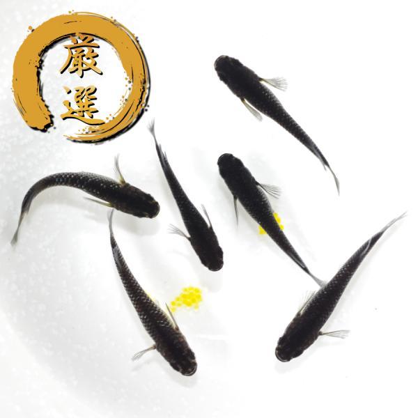 ブラックダイヤ2020 メダカ めだか (Mサイズ) 3ペア medakarium