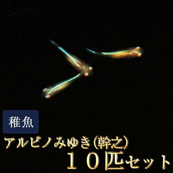 メダカ / アルビノみゆき(幹之)めだか 未選別 稚魚 SS-Sサイズ 10匹セット 限定大特価