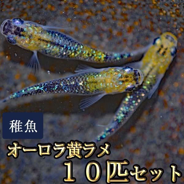 メダカ/オーロラ黄ラメめだか虹色ラメ未選別稚魚SS-Sサイズ10匹セット 大特価