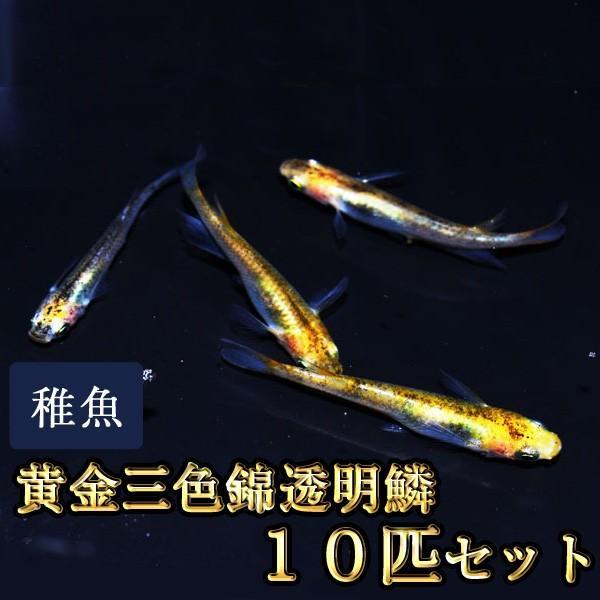 メダカ / 黄金三色錦透明鱗めだか 未選別 稚魚 SS-Sサイズ 10匹セット 限定大特価