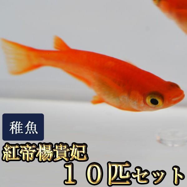 メダカ/紅帝楊貴妃めだか稚魚SS-Sサイズ10匹セット