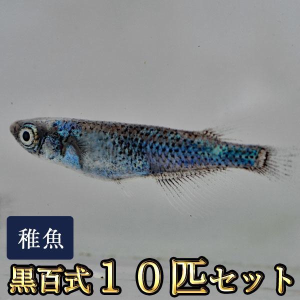 メダカ/黒百式めだか未選別稚魚SS-Sサイズ10匹セット