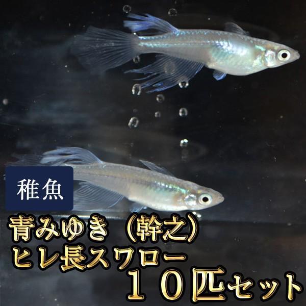 メダカ / 青みゆき(幹之)ヒレ長スワローめだか 松井系 未選別 稚魚 SS-Sサイズ 10匹セット