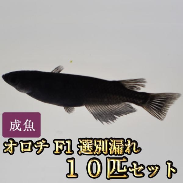 メダカ/オロチめだかF1選別漏れ10匹セット 大特価