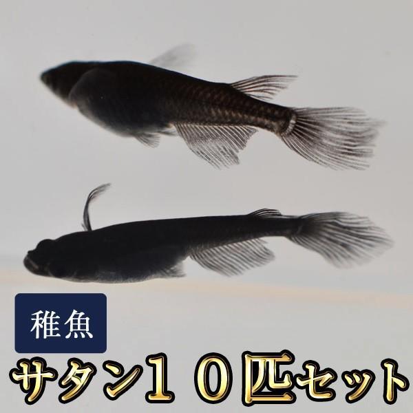 メダカ/サタン/オロチヒレ長スワローめだか未選別稚魚SS-Sサイズ10匹セット