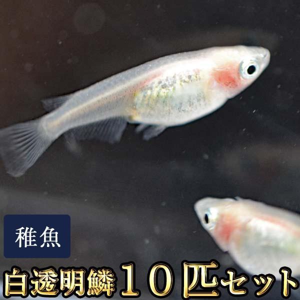 メダカ/白透明鱗めだか未選別稚魚SS-Sサイズ10匹セット/紅ほっぺ