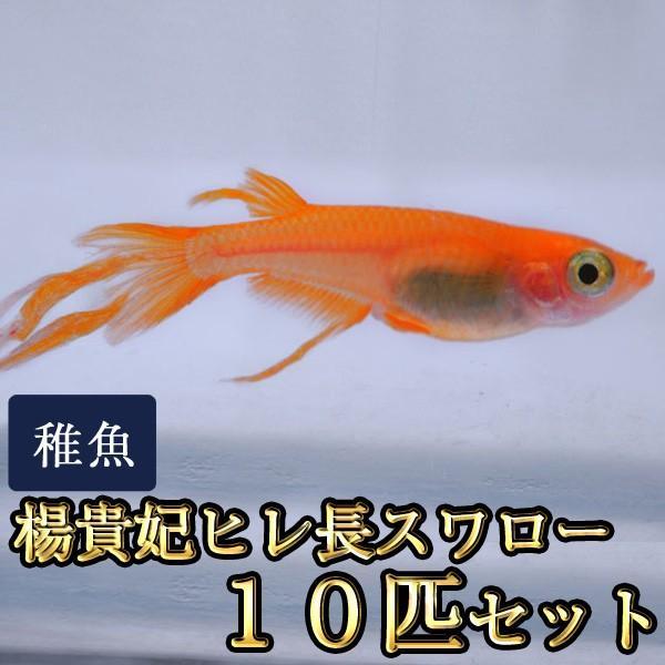 メダカ/楊貴妃ヒレ長スワローめだか未選別稚魚SS-Sサイズ10匹セット
