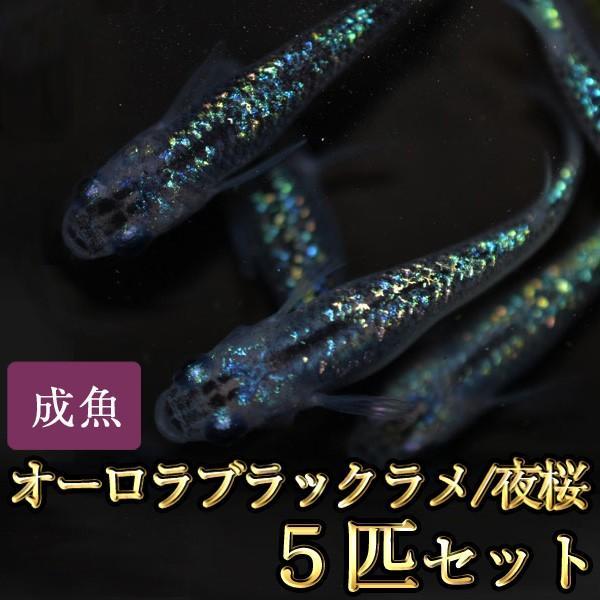 メダカ/オーロラブラックラメめだか虹色ラメ5匹セット/夜桜