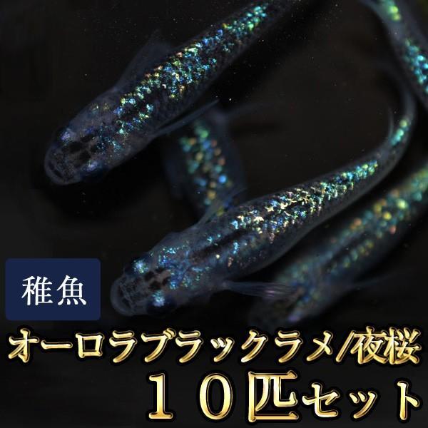 メダカ/オーロラブラックラメめだか虹色ラメ未選別稚魚SS-Sサイズ10匹セット/夜桜