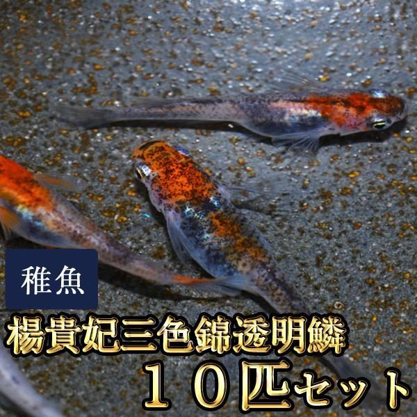 メダカ / 楊貴妃三色錦透明鱗めだか 未選別 稚魚 SS-Sサイズ 10匹セット 限定大特価