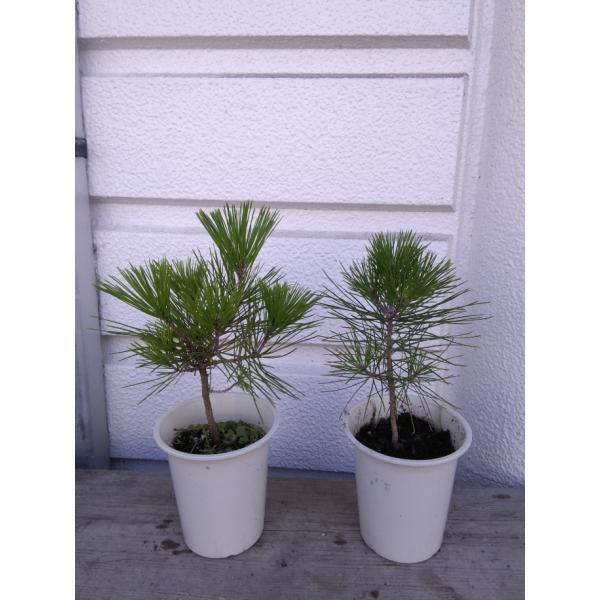黒松(短葉) 3年生 1本植え4号プラ鉢植え苗 根元から高さ20cm位