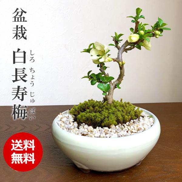 送料無料 盆栽 白長寿梅(しろちょうじゅばい)の盆栽(万古焼白鉢) midoriyanicogusa