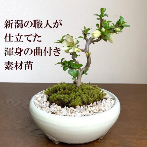 送料無料 盆栽 白長寿梅(しろちょうじゅばい)の盆栽(万古焼白鉢) midoriyanicogusa 02