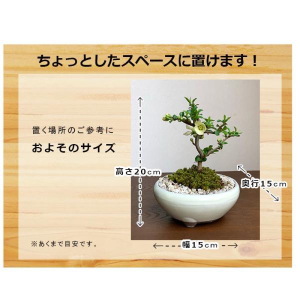 送料無料 盆栽 白長寿梅(しろちょうじゅばい)の盆栽(万古焼白鉢) midoriyanicogusa 04