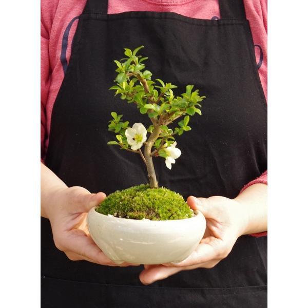 送料無料 盆栽 白長寿梅(しろちょうじゅばい)の盆栽(万古焼白鉢) midoriyanicogusa 05