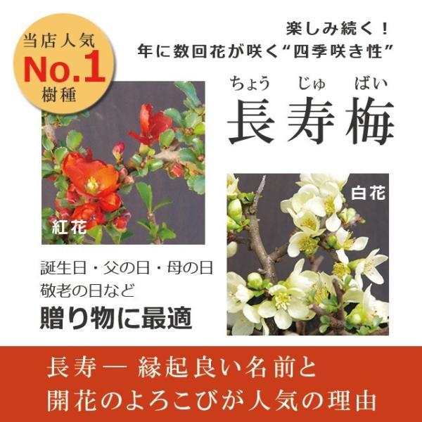 送料無料 盆栽 白長寿梅(しろちょうじゅばい)の盆栽(万古焼白鉢) midoriyanicogusa 06