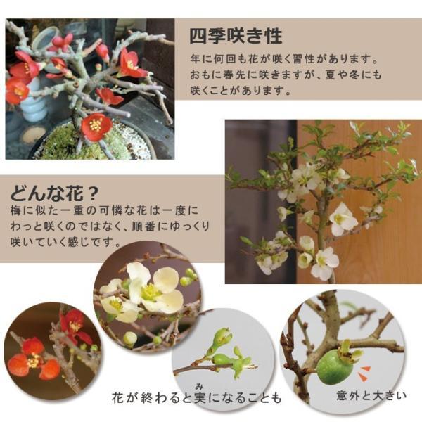送料無料 盆栽 白長寿梅(しろちょうじゅばい)の盆栽(万古焼白鉢) midoriyanicogusa 07