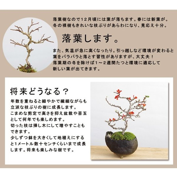 送料無料 盆栽 白長寿梅(しろちょうじゅばい)の盆栽(万古焼白鉢) midoriyanicogusa 08