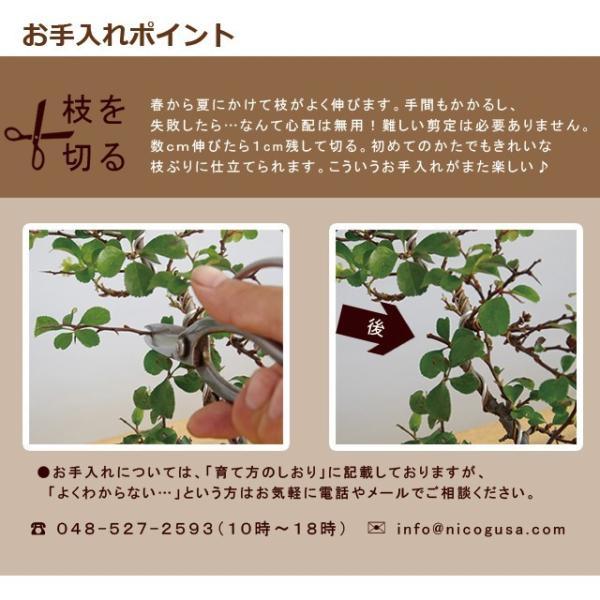 送料無料 盆栽 白長寿梅(しろちょうじゅばい)の盆栽(万古焼白鉢) midoriyanicogusa 09