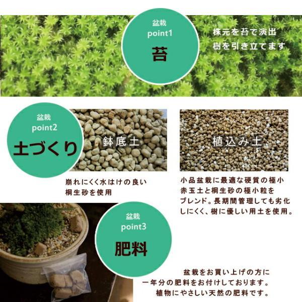 送料無料 盆栽 白長寿梅(しろちょうじゅばい)の盆栽(万古焼白鉢) midoriyanicogusa 10